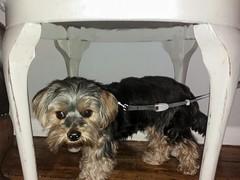 Flo Yorkie Poo Dog  under table at Kavanaghs Tea Room Oakham Rutland (@oakhamuk) Tags: flo yorkie poo dog