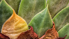 Cactus Behind (Michele Baxley) Tags: cactus colored leaves points yellow macro macrophotography michelenbaxley