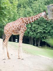 photo-11.jpg (maranwe84) Tags: beauval zoobeauval zoo girafe