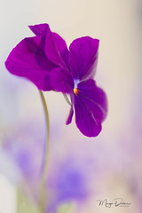 Violet (Margo Dolan) Tags: