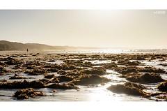 Sea Treasures (red stilletto) Tags: oceangrove oceangrovebeach beach sea ocean water tidesout seaweed macro bokeh sunrise bellarinepeninsula