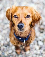 Don't tell me it's Monday again!• • • • • #campingwithdogs #hikingwithdogs #dogsonadventures #dogsthathike #adventuredog #thestatelyhound #houndandlife #backcountrypaws #doglove #hikingdogsofinstagram #excellent_dogs #adventureswithdogs #topdogphoto #heel (watson_the_adventure_dog) Tags: dont tell me its monday again• • campingwithdogs hikingwithdogs dogsonadventures dogsthathike adventuredog thestatelyhound houndandlife backcountrypaws doglove hikingdogsofinstagram excellentdogs adventureswithdogs topdogphoto heelergram hikingdog animaladdicts traildog ireland bestwoof visualsoflife visualsgang wanderireland instaireland inspireland agameoftones irelandgram canonphotos stayandwander