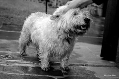 Touch (mootzie) Tags: monochromemull dog scotty scottish touch daughter hand white wet