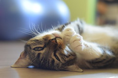 Have a wonderful weekend , I have a happy Caturday ! (fdlscrmn) Tags: cat pet portrait happycaturday fauna flickr united