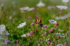 This is summer ... .. *.... .... .. (_andrea-) Tags: flowers blumen insekten light licht sunlight wunderschön ritterfalter papiliomachaon sony grass wiese summer butterfly schmetterling photohopexpress