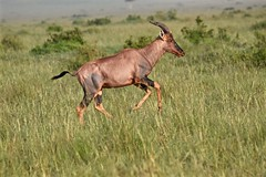 Prancing Through the Grasses (The Spirit of the World) Tags: tppi glossycoat antelope grasses galloping running animal wildlife africa eastafrica kenya masaimara themara landscape safari gamereserve gamedrive nationalpark