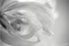 Whirl (ShimmeringGrains) Tags: helios442 scannad olympusom shimmeringgrains kodaktmaxdev14 film kodaktmaxdeveloper olympusom4ti svartvitt om4ti003 ©marieahlén bw ilfordhp5 ilford 135film russianprimelens scanned analog blackandwhite tulip highkey white flower macro monochrome bokeh