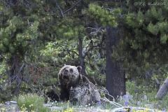 Grizzly known as Blondie (V. C. Wald) Tags: ursusarctoshorribilis grizzlybear grandtetonnationalpark tamronsp150600f563divcusdg2