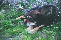 Nostalgia perruna (Conserva tus Colores) Tags: conservatuscolores portrait retrato animals animales chile fotografía fotocallejera naturaleza dog doglovers perro flowers pasto nostalgia soledad triste