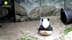 2017_07-18b (gkoo19681) Tags: beibei chubbycubby fuzzywuzzy adorableears sittingtall honeycrate hopeful perfection wideload toocute ccncby nationalzoo