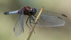 Erythrodiplax abjecta (Rambur, 1842) ♂ (PriscillaBurcher) Tags: erythrodiplaxabjecta erythrodiplax odonata dragonfly dragonflies dragonlet skimmer libélula libellulidae laceja colombia priscillaburcher l1340265
