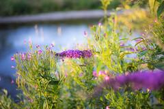 (kuuan) Tags: mf manualfocus m42 yashinon autoyashinonf25cm ybbs river mostviertel austria flowers colors sunset