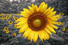 Sunflower (jed52400) Tags: sunflower mckeebesherswildlifemanagementarea montgomerycounty maryland sunflowers hdr effect