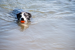 Bonny Goes Swimming 29/52/2017 (smile KB) Tags: 52weeksfordogs bonny deschutes river ball swimming fetch