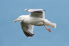 Herring gull (Shane Jones) Tags: herringgull gull seabird bird birdinflight wildlife nature nikon d500 200400vr tc14eii