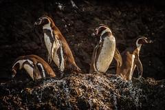 Humboldt Penguins (rlb1957) Tags: penguins humboldtpenguin islotes puñihuil chiloé chile colony island spheniscushumboldti
