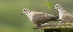 Collared dove (Streptopelia decaocto) (.Hogan.) Tags: 300mmf4 dumfriesgalloway sandyhills d500 nikon