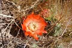 Cactus flower (Javiera C) Tags: chile arica parinacota parquenacional nationalpark parquenacionallauca laucanationalpark altiplano highlands desert desierto plant planta flora vegetación vegetation vegetal cactus flor flower