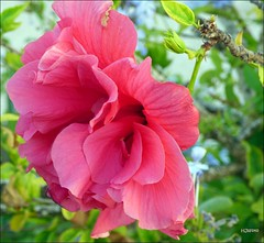 Pink beauty in Torreviejas (HJsfoto) Tags: flowers torrevieja spain