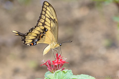 Mangrove @ Burgers Zoo (JnHkstr) Tags: arnhem burgerszoo dierentuin zoo 105 macro vlinder butterfly