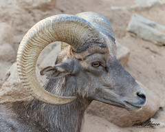 Big Horn Sheep (ToddLahman) Tags: bighornsheep condorridge beautiful sheep portrait male escondido sandiegozoosafaripark safaripark canon7dmkii canon canon100400 closeup mammal outdoors