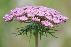 DSCF8187 - No 'flowers' on my walk today so weeds it was. (jangurney) Tags: macrocloseup fujis1 pink flower weed nicebokeh