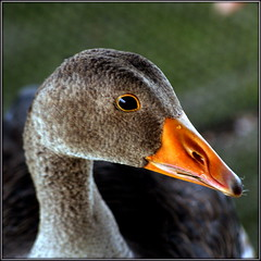Close encounter (* RICHARD M (Over 6 million views)) Tags: anseranser greylaggoose anatidae goose geese waterfowl birds ornithology wildlife nature portraits portraiture animalportraits animalportraiture bold boldbird southportmarinelake sunnysouthport southport sefton merseyside