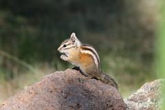 Colorado Chipmunk (Tamias quadrivittatus); Santa Fe National Forest, NM, Thompson Ridge [Lou Feltz] (deserttoad) Tags: nature newmexico animal rodent mammal fauna squirrel chipmunk behavior nationalforest mountain