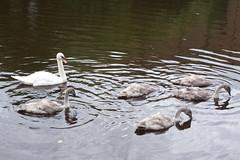 Another family of swans (koukat) Tags: scotland edinburgh uk drive water leith walkway river path walk