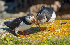 The bonding puffins (Photosuze) Tags: atlanticpuffins bonding beaking birds avians aves nature wildlife animals cute two pair