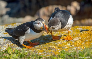 The bonding puffins