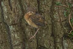 Thorp Perrow (dave.pix2013) Tags: robin thorp perrow