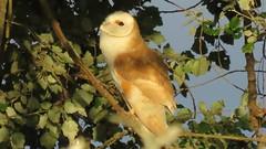 Sun worshipping. (Alan McCluskie) Tags: barnowl owl birdofprey predator feathers sunlight birds nature ukwildlife tytoalba bop avian canonpowershotsx60 bridgecamera explored