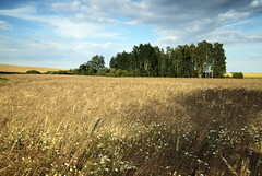 Not so far away (airSnapshooter) Tags: summer field countryside country grain trees cloud green flowers canoneos6d tamronspaf2875mmf28xrdildasphericalif poland landscape view scenery