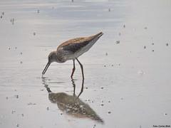 Common Redshank (Corine Bliek) Tags: bird birds wader weidevogel vogel vogels natuur nature wildlife water lakes tringatotanus