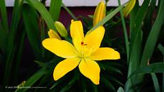 DSC00669 (Aldona Induła) Tags: sony a6000 bezedycji flower garden kwiat notedited ogród prostozaparatu straightfromthecamera