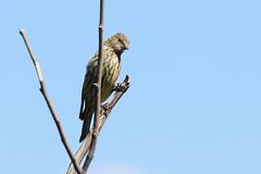 Pine Siskin (9818) (Bob Walker (NM)) Tags: bird finch pinesiskin spinuspinus pisi siskin losalamos newmexico usa