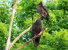 turkey vultures roosting at Vernon Springs IA 854A1515 (lreis_naturalist) Tags: turkey vultures vernon springs howard county iowa larry reis