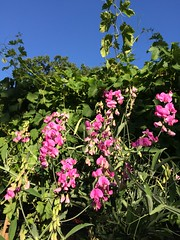 Backyard Beauty (skipmoore) Tags: home vineyard sweetpea flowers