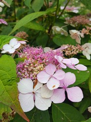 (Iggy Y) Tags: hydrangeamacrophylla hydrangea macrophylla spring blossom flower pink color flowers green leaves nature park garden plant velelisnahortenzija hortenzija bigleafhydrangea hortensia day light