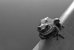 Green Treefrog  (Hyla cinerea) (macromary) Tags: leicaflexsl leica leitz leicaflex slr primelens vintage camera manual film bw blackandwhite oldtown florida dixiecounty wildlife floridawildlife frog treefrog greentreefrog green nature hylacinerea fomapan rodinal macro 60mm elmarit 150 monotone