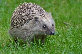 Hedgehogs - Finland