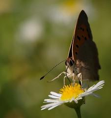 """""""mangia che diventi grande"""" (andrea.zanaboni) Tags: farfalla butterfly fiore flower pappa polline occhi eyes nikon macro mangiare"""