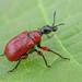 Apoderus coryli (Linnaeus, 1758) (andrea hallgass) Tags: macro insetti coleoptera apoderus coryli