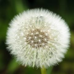Dandelion clock (.Hogan.) Tags: d300 blow clock dandelion flower green nature nikon puff seeds uk wind