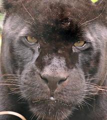 jaguar Mowgli artis BB2A5033 (j.a.kok) Tags: jaguar mowgli zuidamerika southamerica cat kat mammal zoogdier dier animal artis blackjaguar zwartejaguar