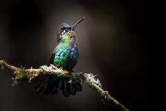 Headliner (Melissa James Photography) Tags: costarica panterpeinsignis fierythroatedhummingbird