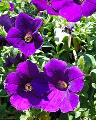 Purple Petunias in Union Square (Scott Yeckes) Tags: nature petunia petunias purple summer unionsquarepark aypclub citygarden colorful flowers letsgrownyc purplepetunia streetphotography unionsquaregreenmarket urbangarden