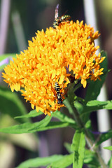 Paper Wasps on Butterfly Milkweed (U.S. Fish and Wildlife Service - Midwest Region) Tags: nature sherburne nwr refuge nationalwildliferefuge minnesota mn summer july 2017 wildflower flowers flower flowering bloom blooming blooms plant plants nativeprairie nativeplant butterflyweed paperwasp wasp wasps pollinate pollinator pollinators
