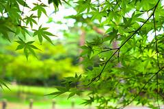 Summering (moaan) Tags: kobe hyogo japan jp momiji japanesemaple green summer midsummer dof bokeh bokehphotography leicax2